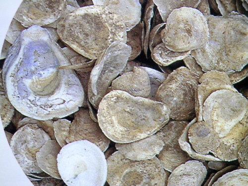 <p> 牡蠣殼</p>
